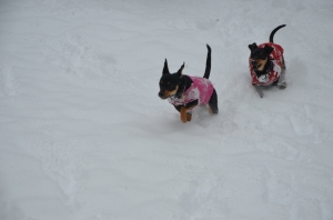 MinPins Running in the Snow