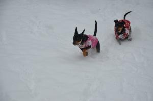 MinPins Running in the Snow