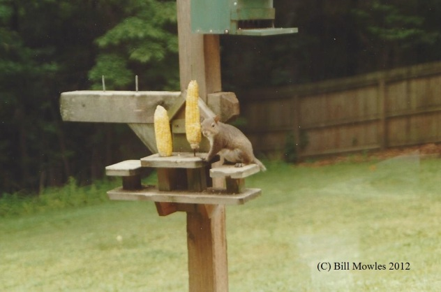 Squirrel at corn cob feeder in backyard