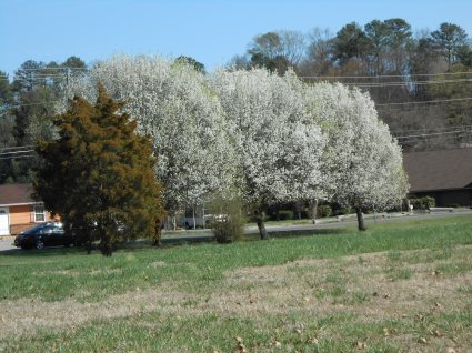 White Bradford pear trees in Spring.