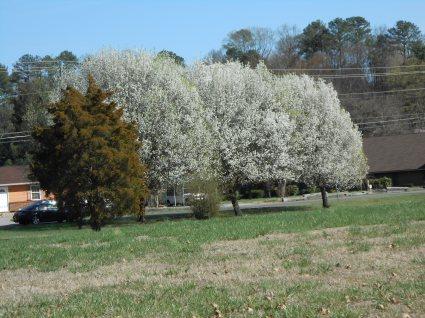 White Bradford pear trees in Spring.