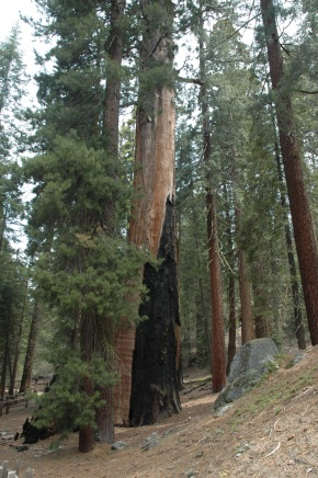Giant Sequoia fire scar with seedlings nearby.