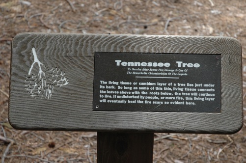 Giant Sequoia Tree plaque for the tree Tennessee Tree, with explanation about cambium layer beneath bark that enables trees to survive forest fires.