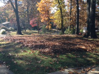 Leaves in the yard waiting to be raked up and taken down to the street.