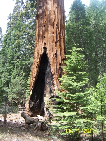 Fire scar completely through the base of Giant Sequoia Tree