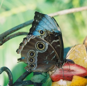 Butterfly having some strawberry lunch