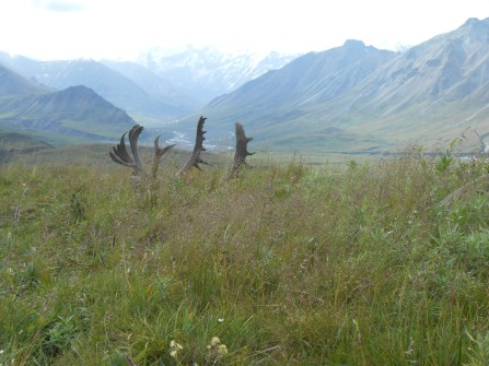 Mountain view in Alaska with caribou rack in foreground