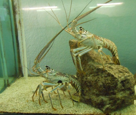 Florida Spiny Lobster seen in aquarium along Florida's coastline.