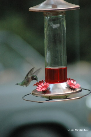 Hummingbird getting a drink for nourishment.