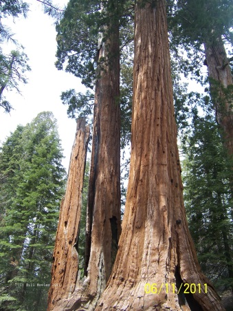 Yosemite Giant Sequoia Trees