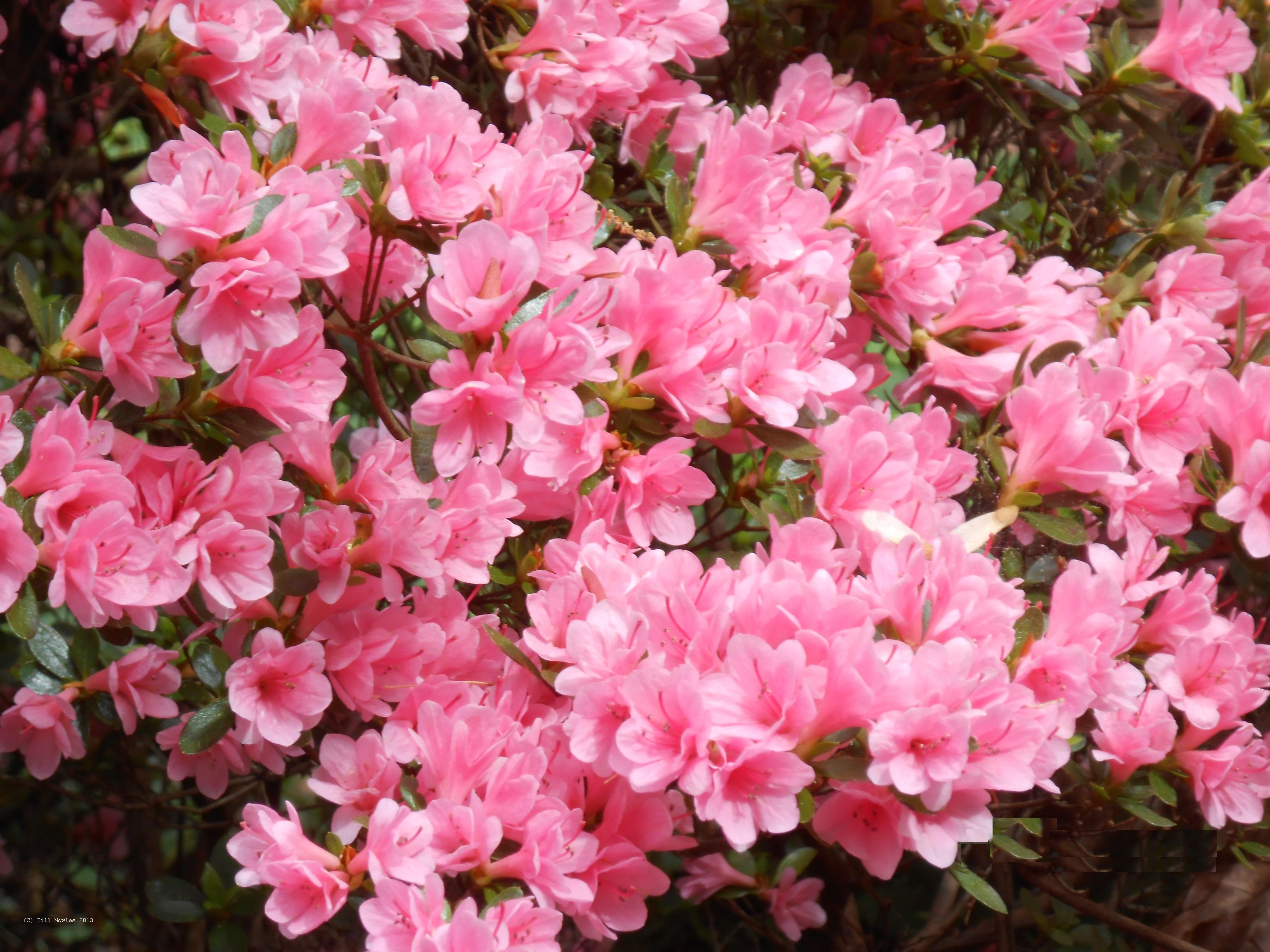 Azalea in full bloom (C)