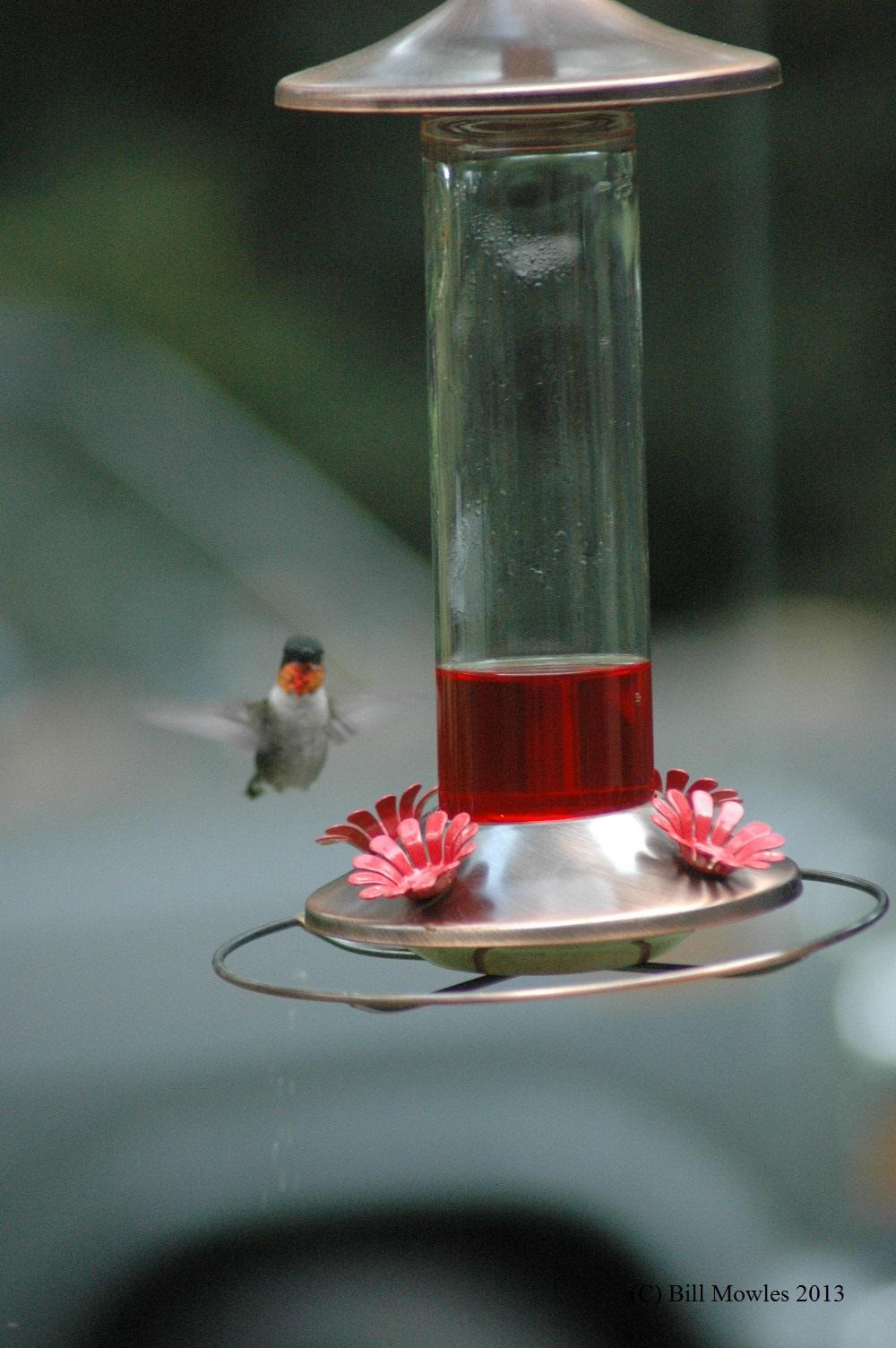 hummingbird hovering (C)