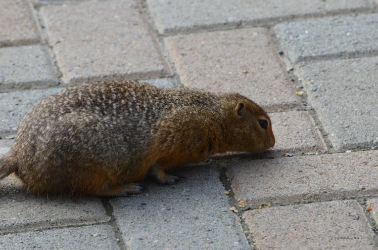 Alaskan squirrel (C)