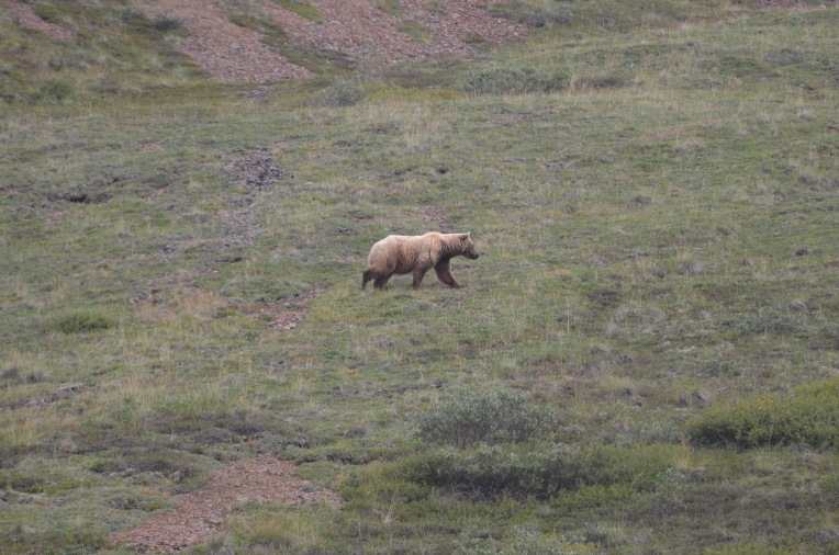 Bear in Denali