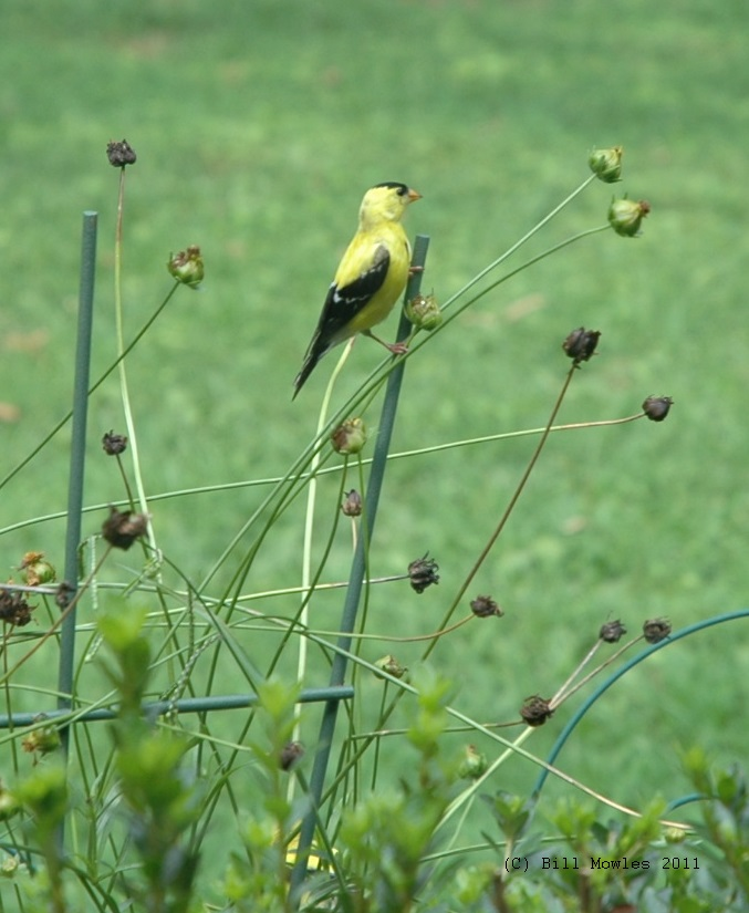 Birds - American Goldfinch (C)