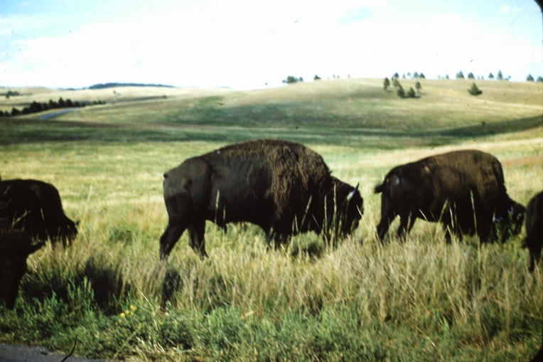 Buffalo in ND