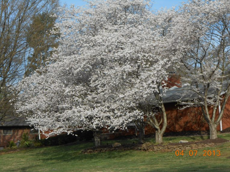 Book pictures Bradford pear- flowers 11
