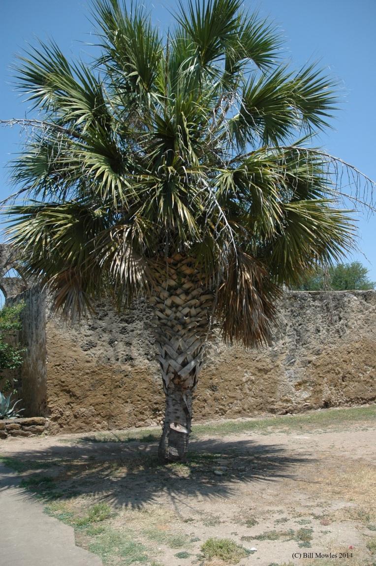 Palm tree (C)