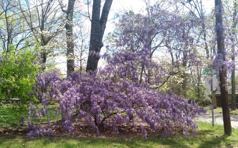 Wisteria blooming vine