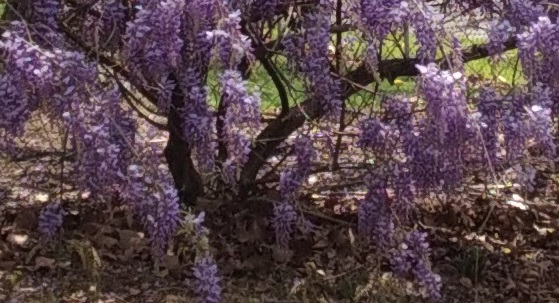 Wisteria blooming vine close up