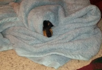 Snickers in blanket