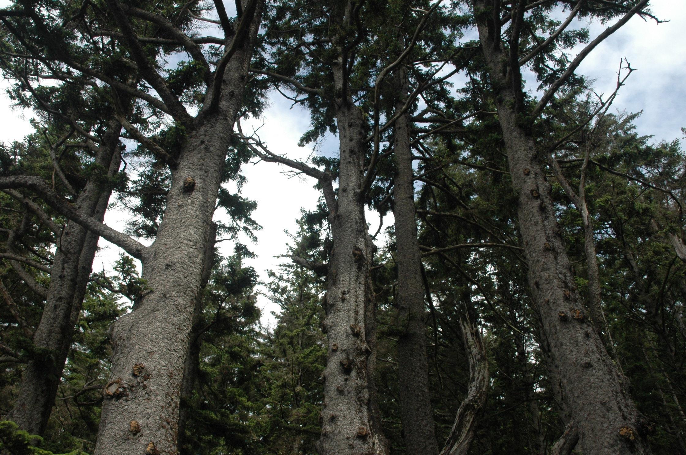 Octupus tree looking up Oregon 2009 436