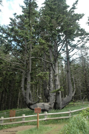 Oregon 2009 434 (C) Octupus Tree at Cape Meares State Park near Tillimook Oregon