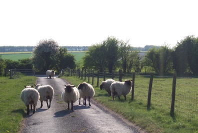 Sheep in English Countryside