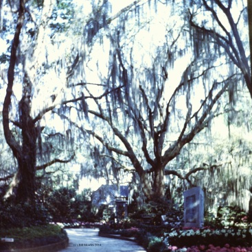 Bellingrath Gardens, moss covered trees (C)