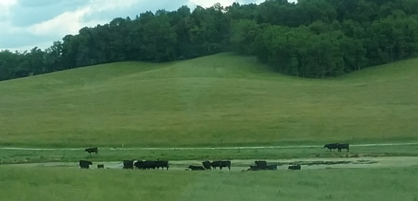 Cows grazing in pasture along highway in Virginia cropped