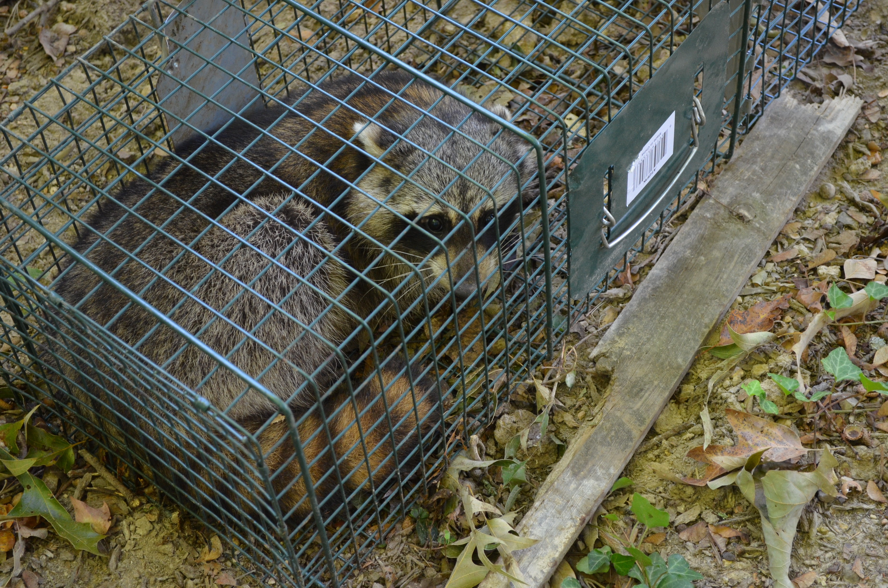 Racoon in overturned trap
