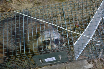 Racoon in trap