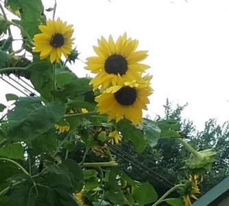 Jefferson garden giant sunflowers