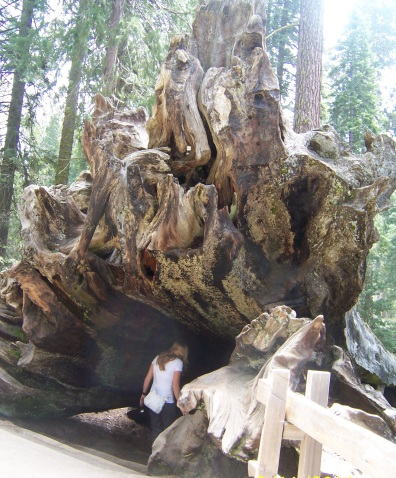 Yosemite giant sequoia fallen tree (C)