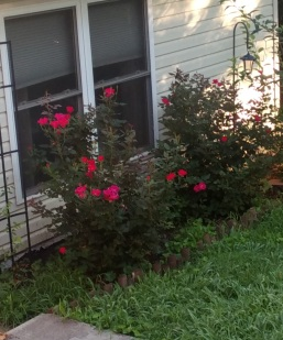 Roses outside window cropped