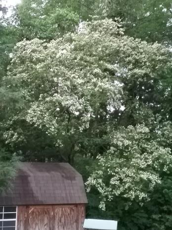 Honeysuckle - tall bush