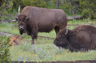 Bison family relaxing