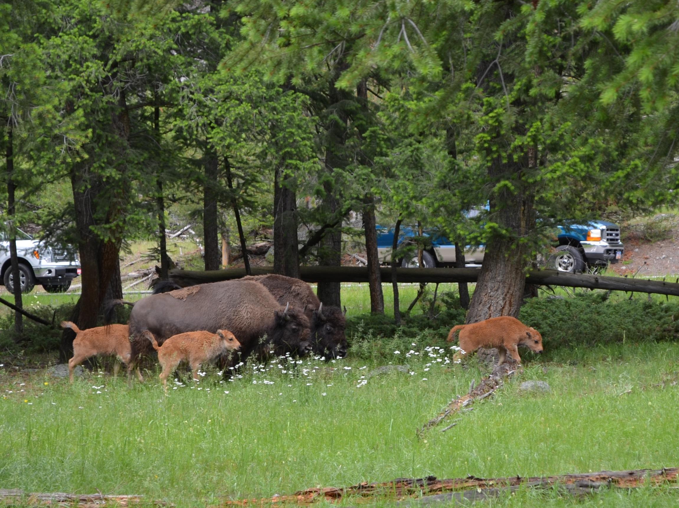 Bison family walking