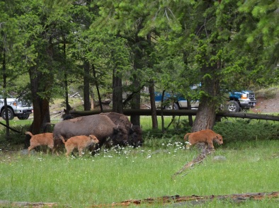 Bison family walking