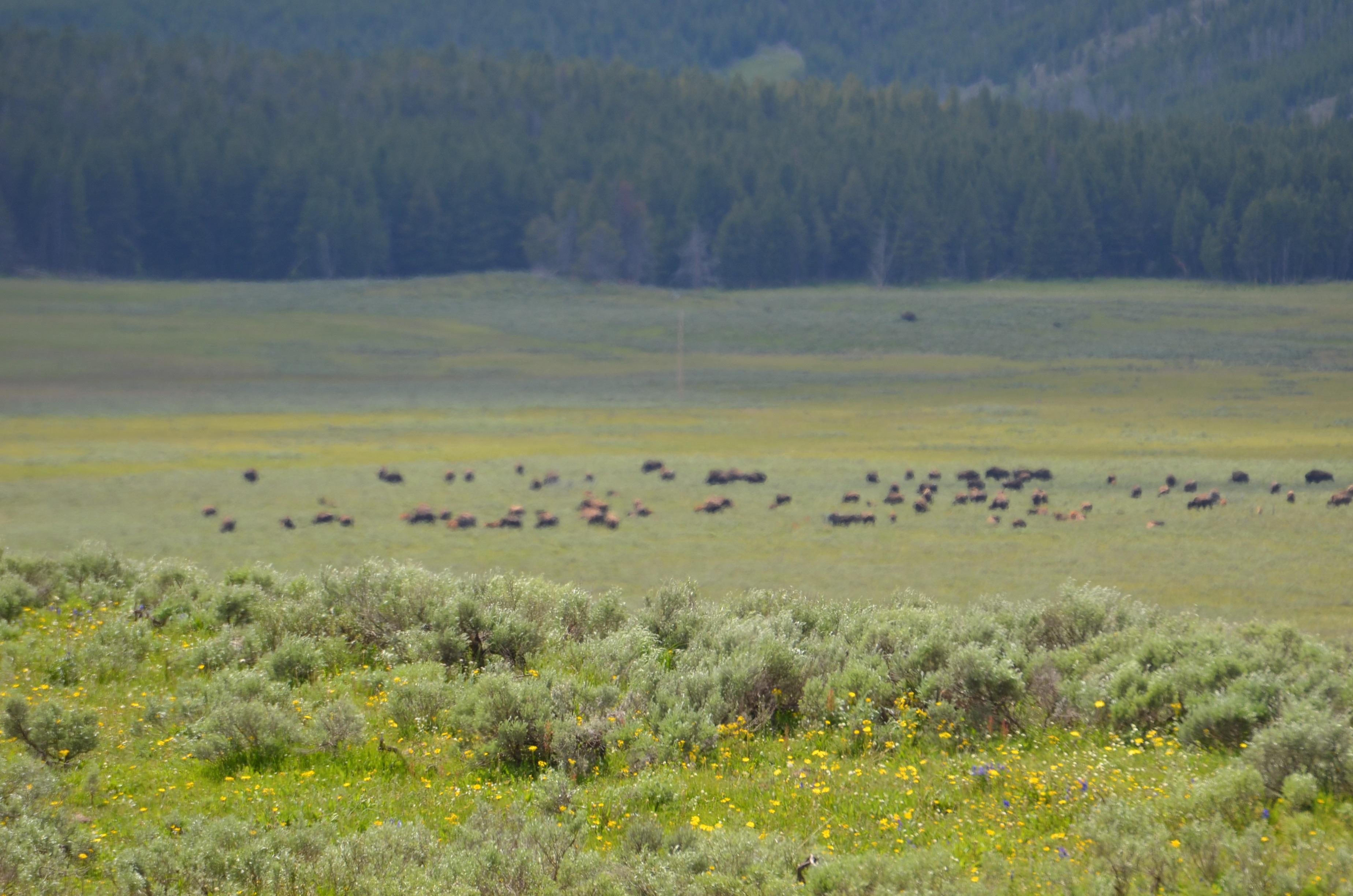 Hayden Valley bison herd
