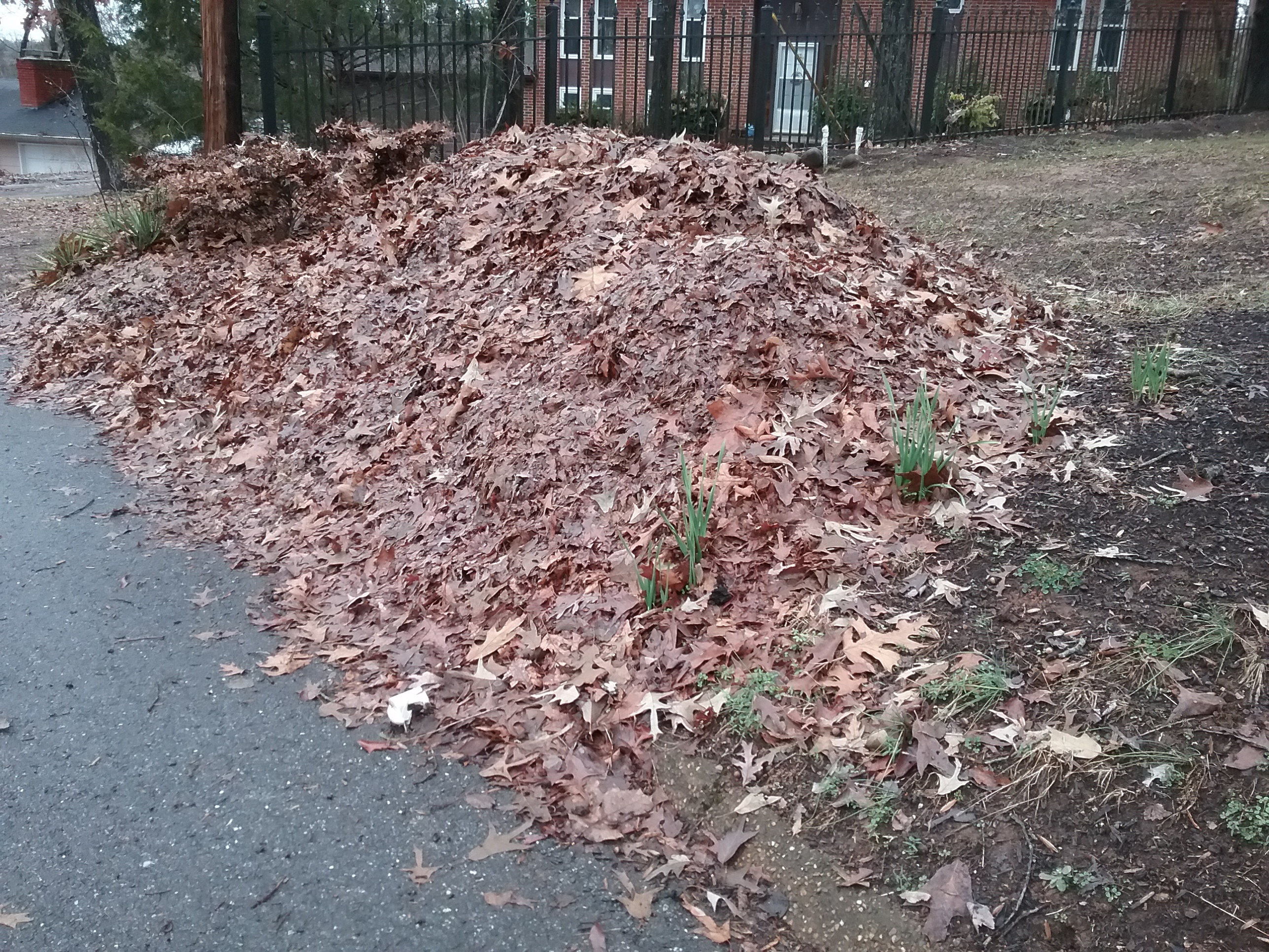Shredded Leaves down at the street